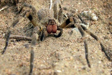 Loài nhện Phoneutria nigriventer ở Brazil.