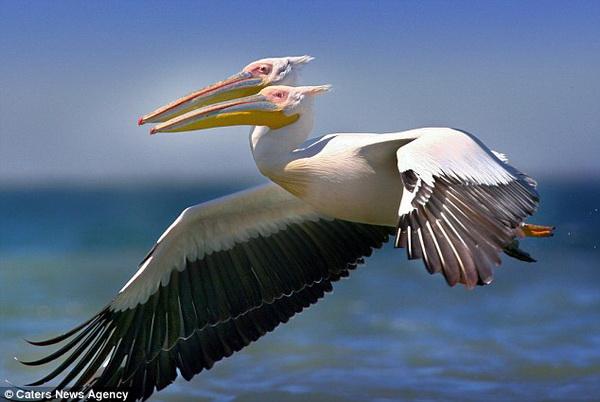 Chim bồ nông 2 đầu bay lượn trên bầu trời