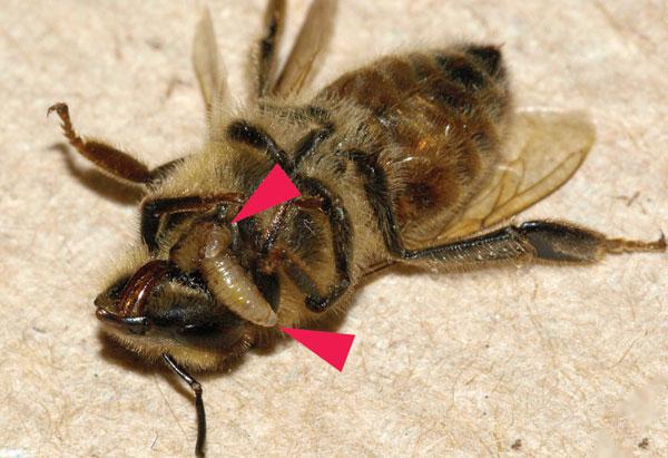 Ong bị nhiễm ký sinh trùng