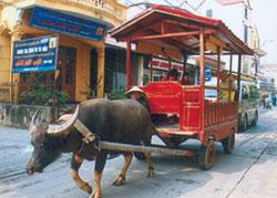 Du lịch bằng xe trâu kéo