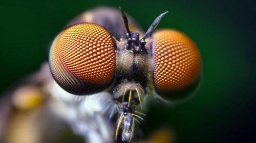 Mắt ruồi