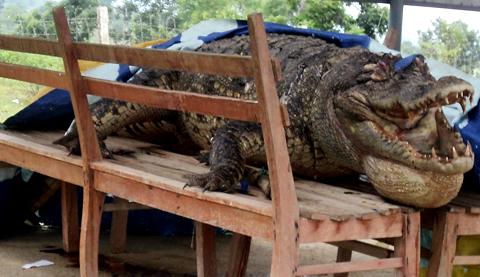 Cá sấu 100 kg được đưa về UBND xã Ea Lâm. Ảnh: Thiên Lý