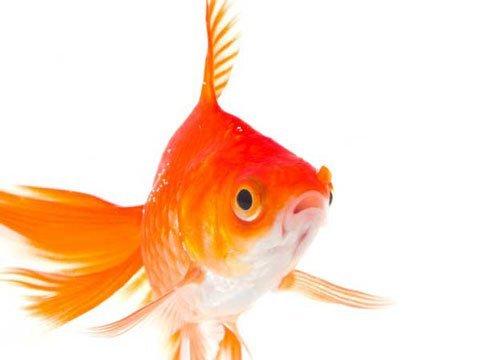 Cá vàng chỉ sống được trong nước ngọt.