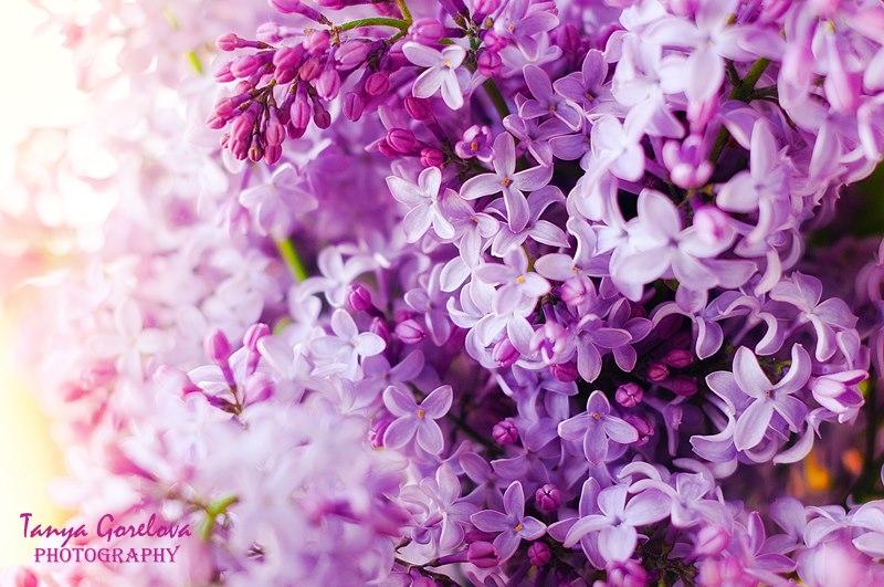 Dịu dàng sắc tím của hoa Tử Đinh Hương ♥ (23)