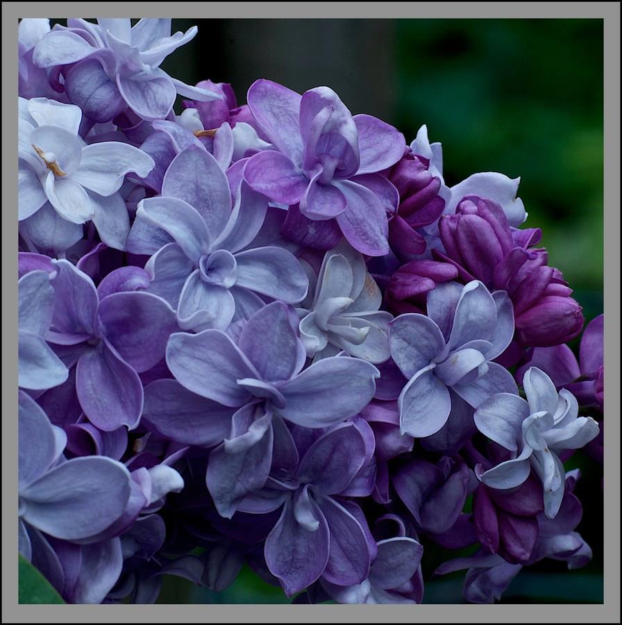 Dịu dàng sắc tím của hoa Tử Đinh Hương ♥ (13)