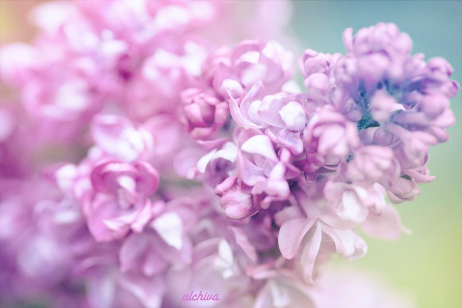 Dịu dàng sắc tím của hoa Tử Đinh Hương ♥ (12)