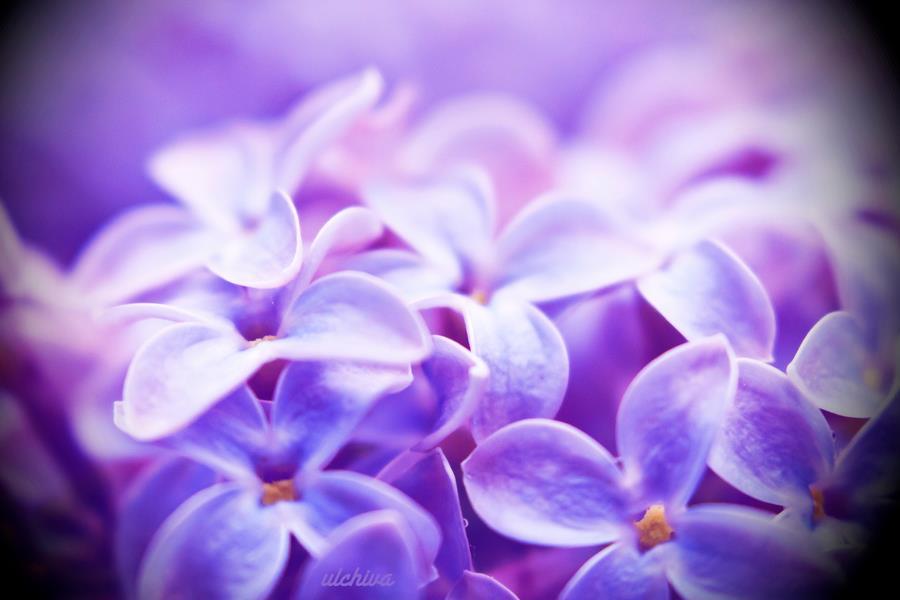 Dịu dàng sắc tím của hoa Tử Đinh Hương ♥ (11)