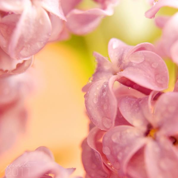 Dịu dàng sắc tím của hoa Tử Đinh Hương ♥ (9)
