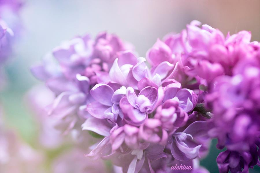 Dịu dàng sắc tím của hoa Tử Đinh Hương ♥ (8)