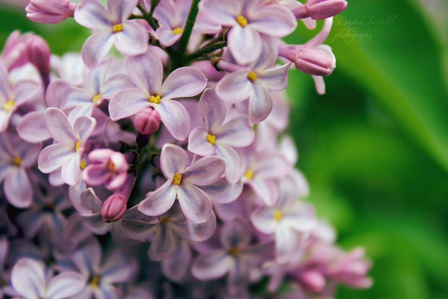 Dịu dàng sắc tím của hoa Tử Đinh Hương ♥ (5)