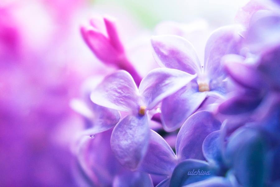 Dịu dàng sắc tím của hoa Tử Đinh Hương ♥ (22)