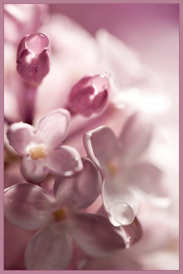 Dịu dàng sắc tím của hoa Tử Đinh Hương ♥ (21)