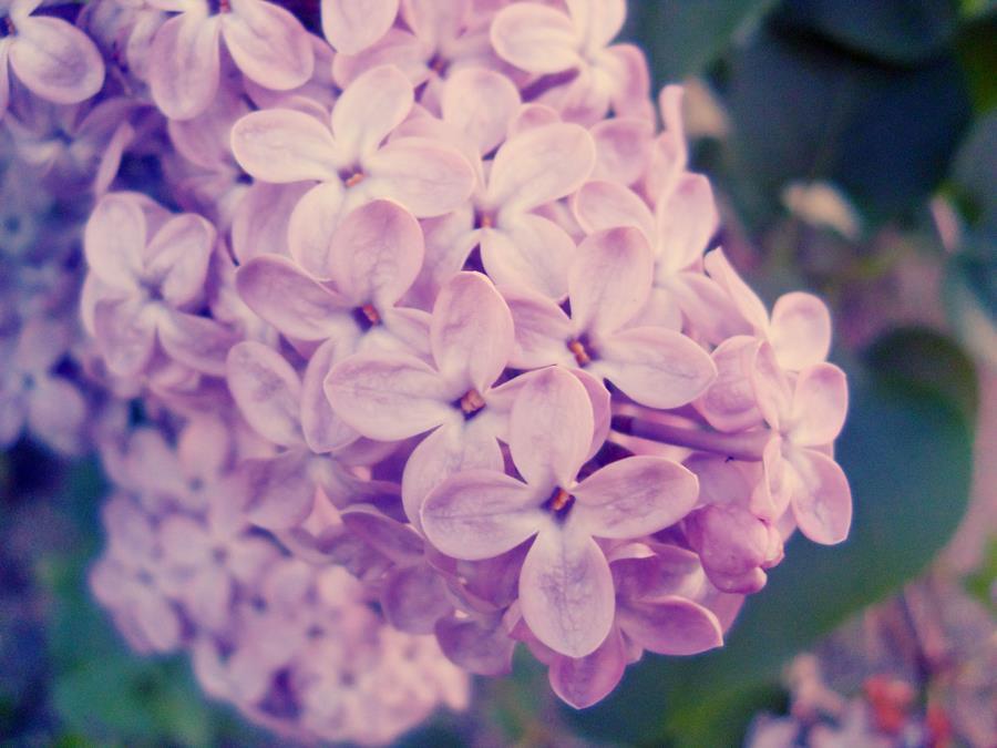 Dịu dàng sắc tím của hoa Tử Đinh Hương ♥ (20)