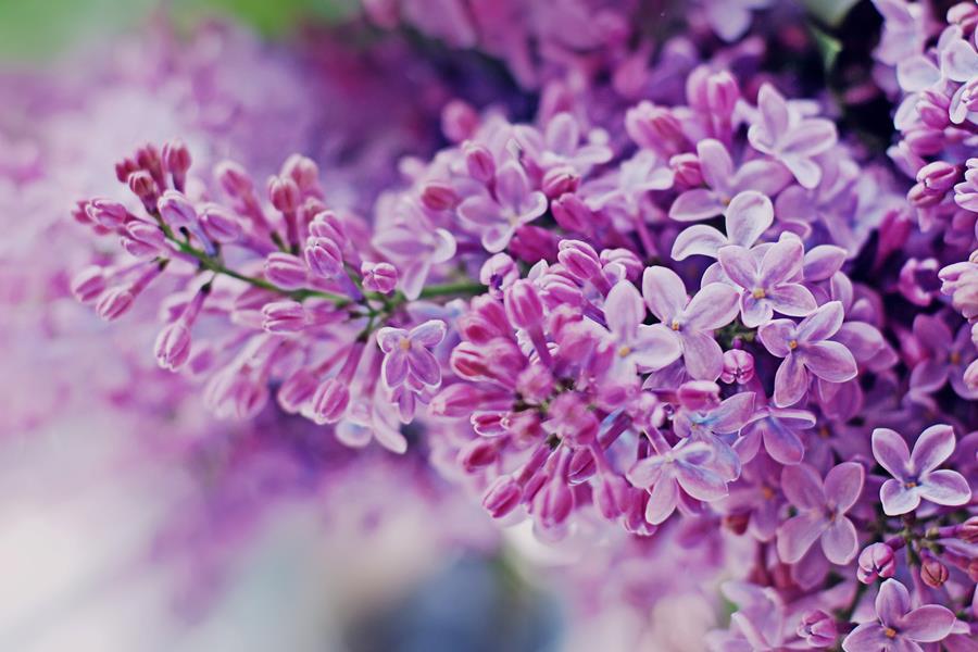 Dịu dàng sắc tím của hoa Tử Đinh Hương ♥ (19)