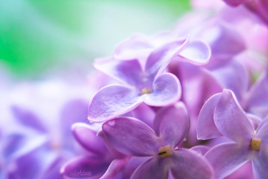 Dịu dàng sắc tím của hoa Tử Đinh Hương ♥ (18)