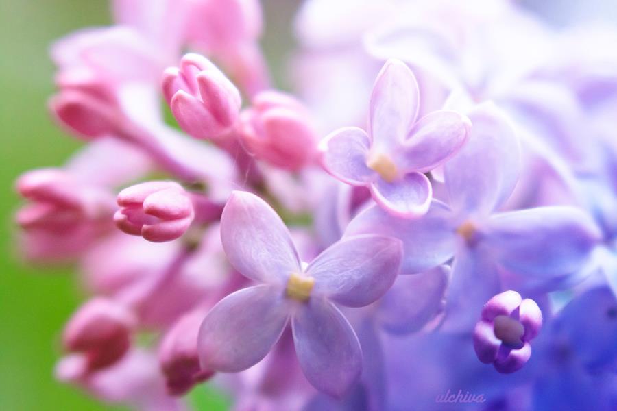 Dịu dàng sắc tím của hoa Tử Đinh Hương ♥ (17)