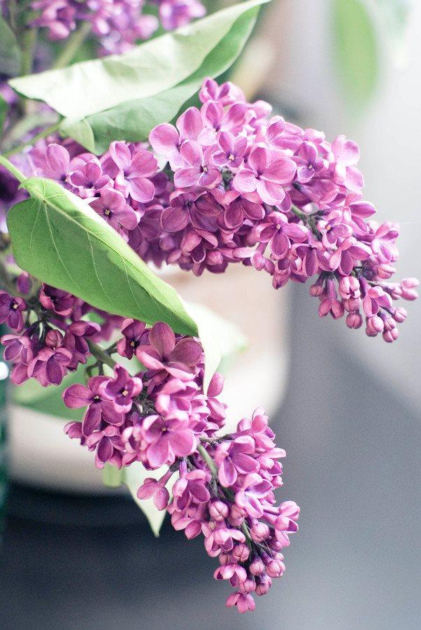 Dịu dàng sắc tím của hoa Tử Đinh Hương ♥ (15)