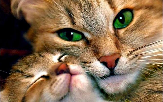 Hãy cùng ngắm những hình ảnh cực kì tình cảm của bé mèo mẹ và các bé mèo con nhé (2)