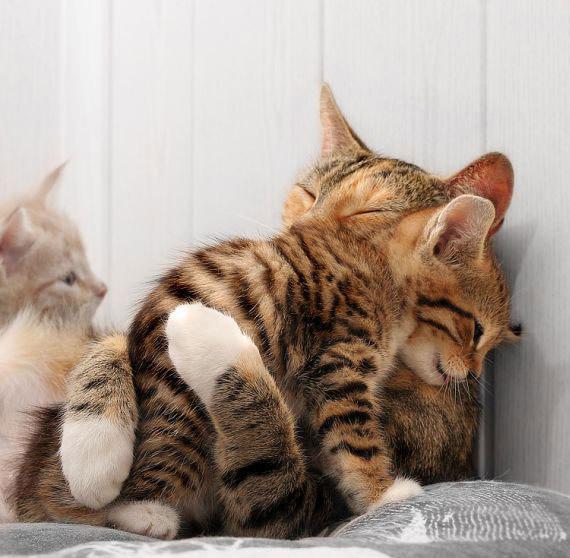 Hãy cùng ngắm những hình ảnh cực kì tình cảm của bé mèo mẹ và các bé mèo con nhé (12)