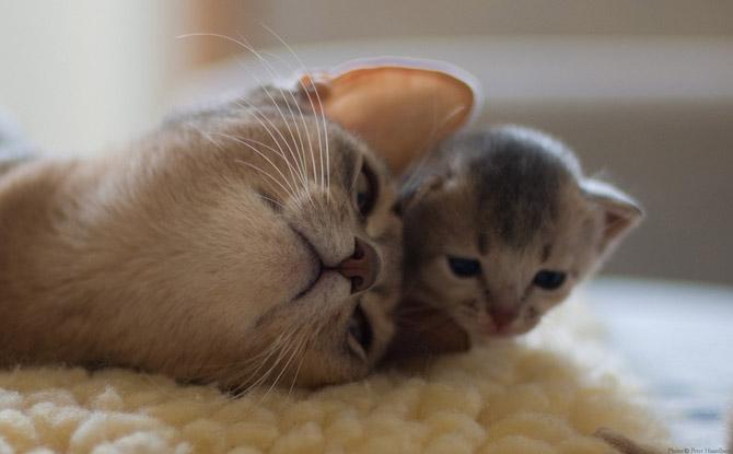 Hãy cùng ngắm những hình ảnh cực kì tình cảm của bé mèo mẹ và các bé mèo con nhé (9)