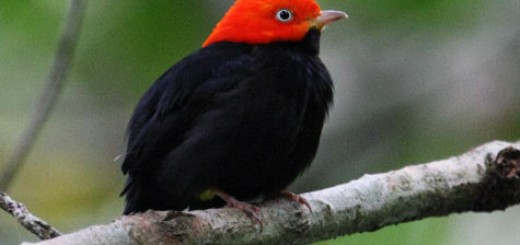 red_capped_manakin