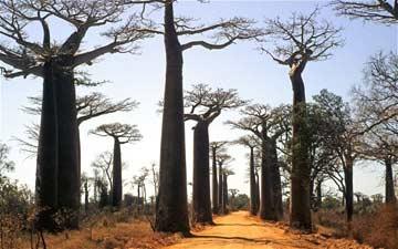 Cây Bao Báp, biểu tượng của Châu Phi, đang đối mặt với nguy cơ biến mất nếu không được bảo vệ nghiêm túc (Ảnh: Telegraph)