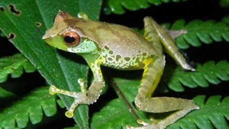 Tìm thấy ếch biết hót ở Việt Nam