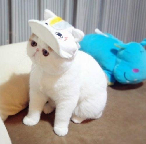 """Ảnh vui mèo: ngắm """"siêu mẫu"""" mèo kute nhất (4)"""