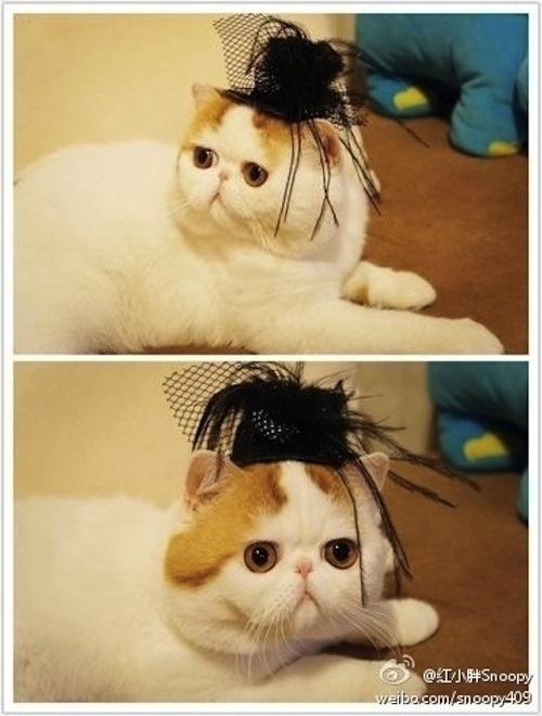 """Ảnh vui mèo: ngắm """"siêu mẫu"""" mèo kute nhất (31)"""