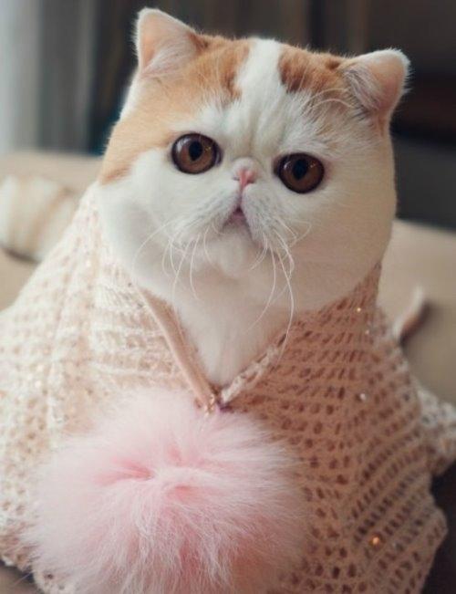 """Ảnh vui mèo: ngắm """"siêu mẫu"""" mèo kute nhất (12)"""