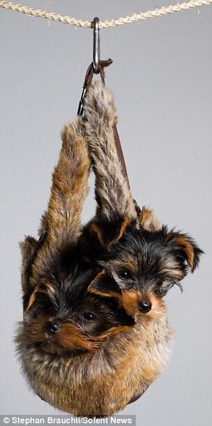 Ngộ nghĩnh với hình ảnh dễ thương của chó tí hon