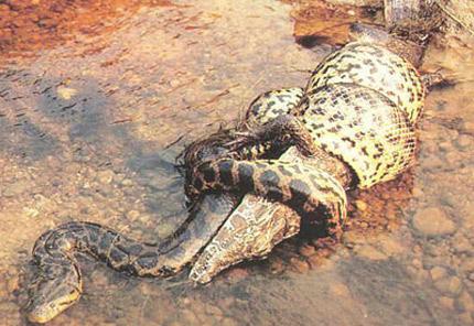 Món ăn khoái khẩu của Anaconda là cá sấu.