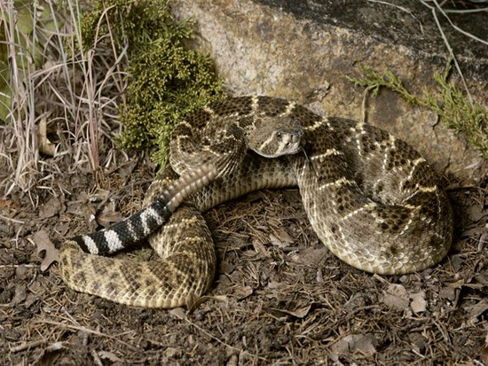 Một con rắn đuôi chuông. (Ảnh: Yeudongvat.org).