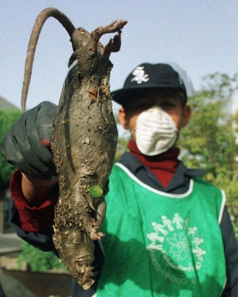 Tình nguyện viên nhặt xác một con chuột chết khổng lồ ở một kênh thoát nước mở tại Tehran. Ảnh: Reuters