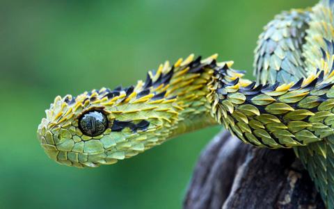 Rắn Atheris hispida, thường được gọi là rắn vảy sừng Bush Viper hay rắn có lông, sống trong khu rừng Takamanda, Cameroon. Ảnh: wallpapers.com.