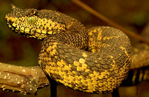 Nhiều người thường gọi chúng là rắn lông vì họ tưởng những chiếc vảy sừng này là những chiếc lông trên cơ thể. Ảnh: nydailynews.com.