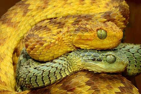 Đôi mắt lớn cũng góp phần tạo nên vẻ hung dữ cho rắn vảy sừng. Ảnh: theworldbyroad.com.