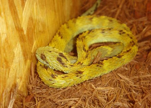 Chiều dài cơ thể tối đa của chúng chỉ đạt 73 cm đối với con đực và 58 cm đối với con cái. Ảnh: forumotions.net.