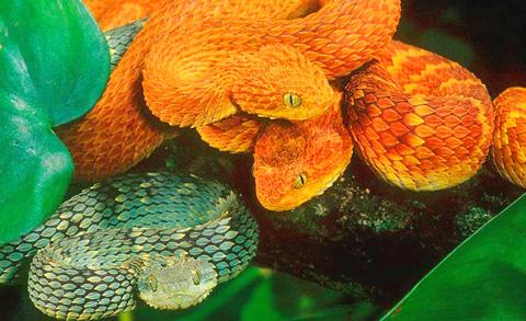 Không chỉ sở hữu lớp vảy kỳ lạ, loài rắn này còn có khả năng thay đổi màu sắc cơ thể để hòa lẫn với môi trường xung quanh khi chúng trốn tránh kẻ thù hay đánh lừa con mồi. Ảnh: natureslensphoto.com.