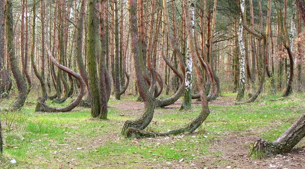 Kỳ lạ rừng thông cong gốc ở Ba Lan