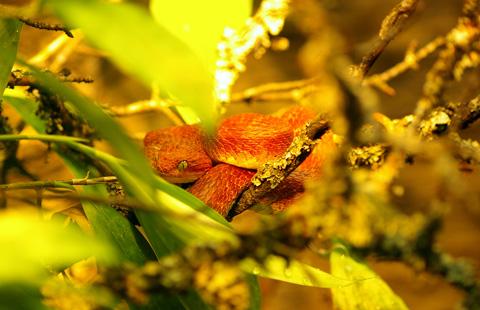 Loài rắn này thường không tấn công con người và các động vật lớn nhưng lượng nọc độc tiết ra sau mỗi cú đớp của chúng có thể gây tử vong cho một người trưởng thành. Ảnh: flickr.com.