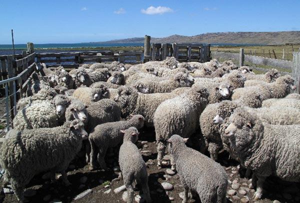 Cứ 1 người lại có 350 con cừu