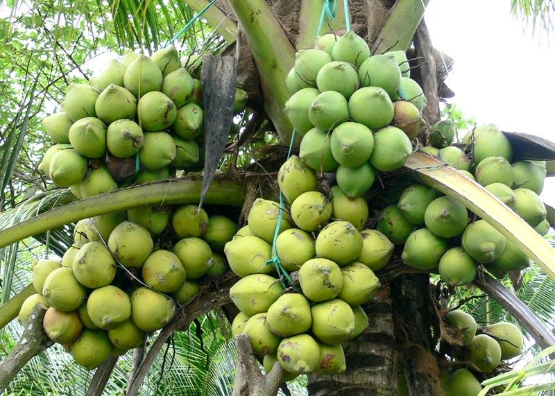Dừa Tam Quan-Bình Định