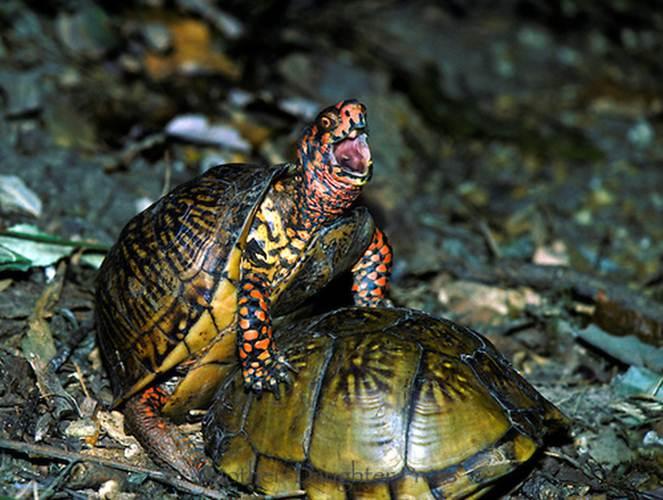 """Ảnh độc: Lật ngửa khi """"sex"""" - bi kịch của loài rùa (13)"""
