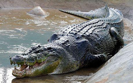 Con cá sấu nước mặn Lolong