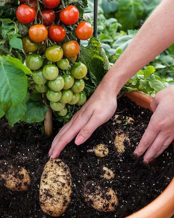 Độc đáo cây cả chua có củ...khoai tây