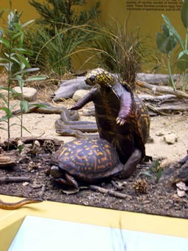 """Ảnh độc: Lật ngửa khi """"sex"""" - bi kịch của loài rùa (12)"""