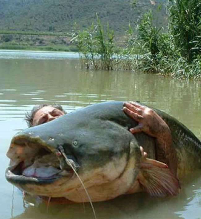 Một chú cá da trơn với thân hình khổng lồ mà một người đàn ông ôm không xuể