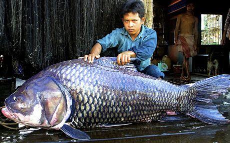 con cá hô nặng 102 kg và dài 1,7 m