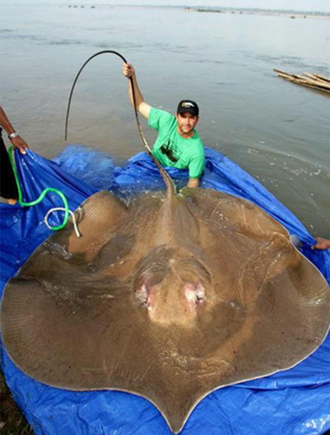 Chú cá đuối khổng lồ